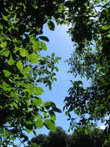 walnut-tree-canopy-sky-leaves[1]